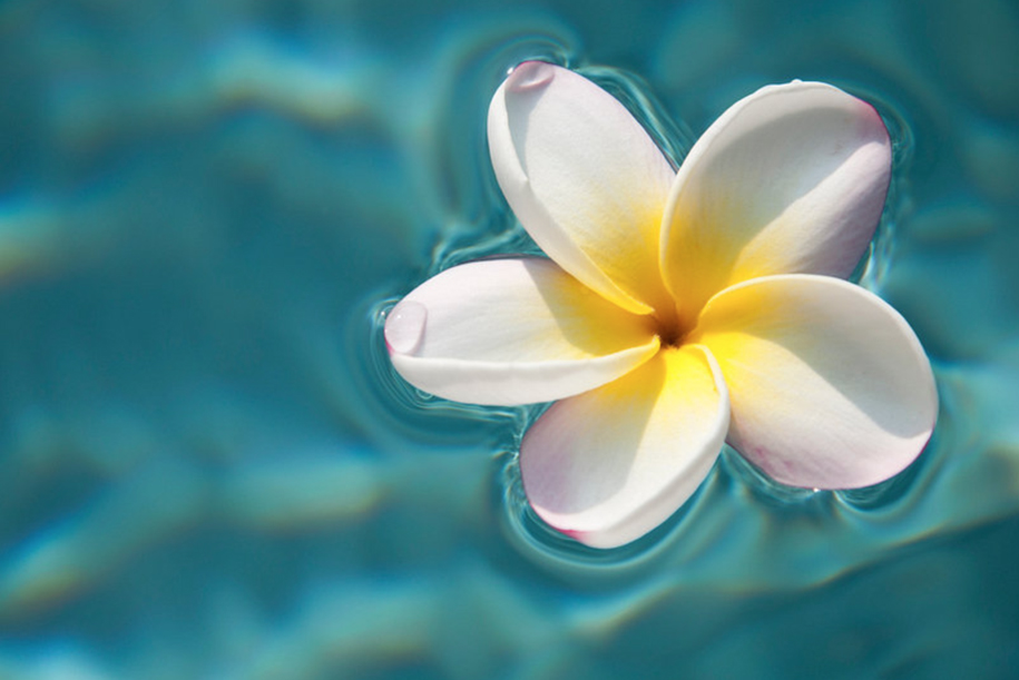 Plumeria of Hawaii in the clear blue water. Little drip on a white leave of the plumeria flower. Ellis Peeters.