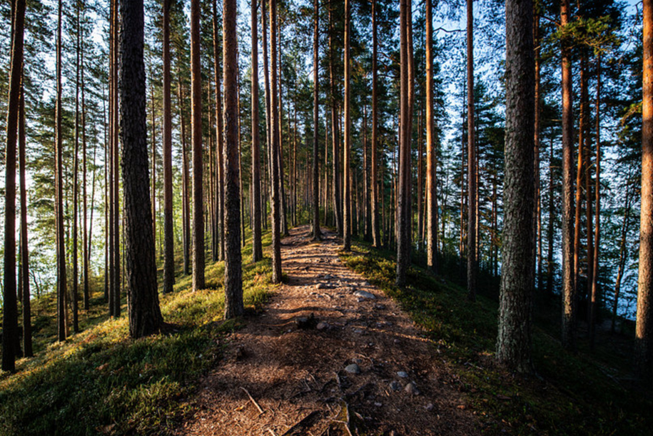 Path in the pine tree forest of Finland