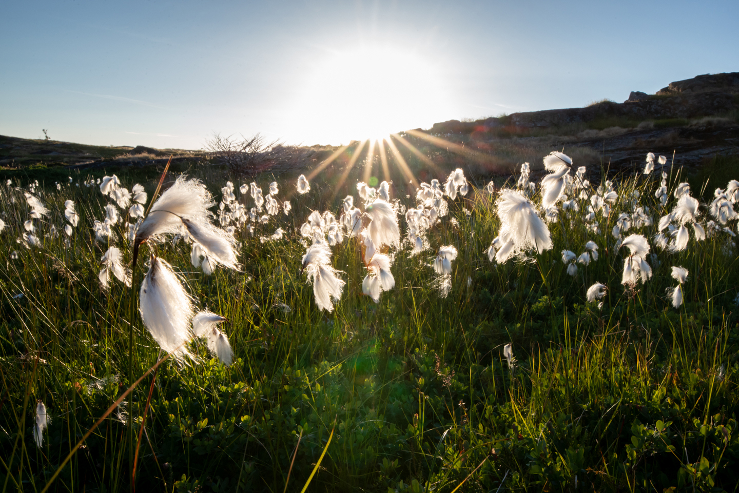 Sunset lighting up the fluffy cotton grass. Bright sun lights up the fluffy white flowers beautifully. Nature photography by Ellis