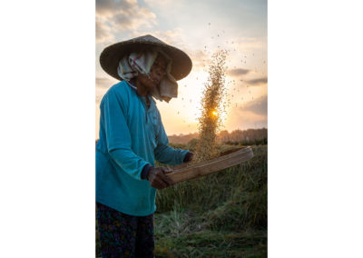Portrait of an lady harvesting rice with a sunset in Bali.