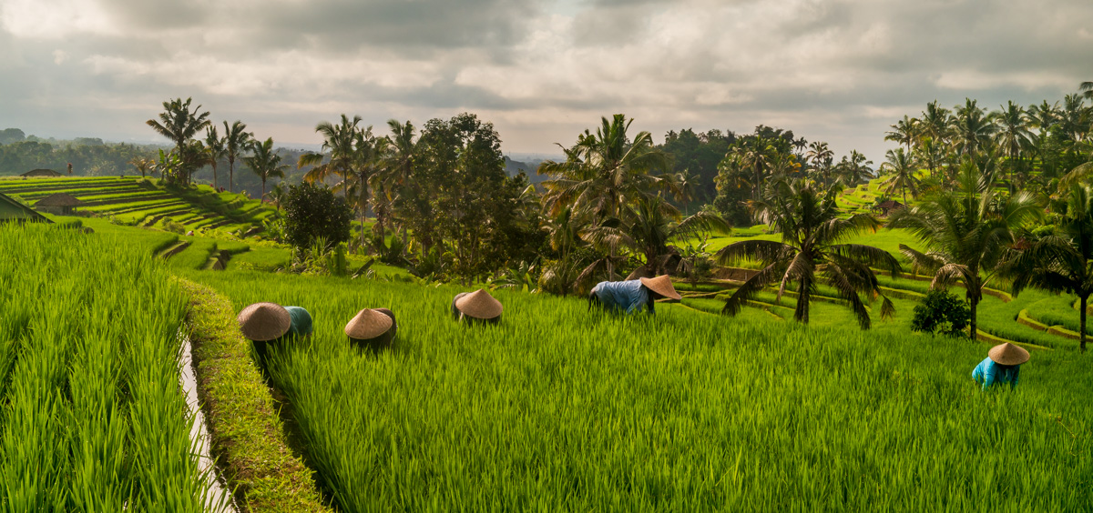 Panorama of early workers in a rice field in Jatiluwih, Bali.