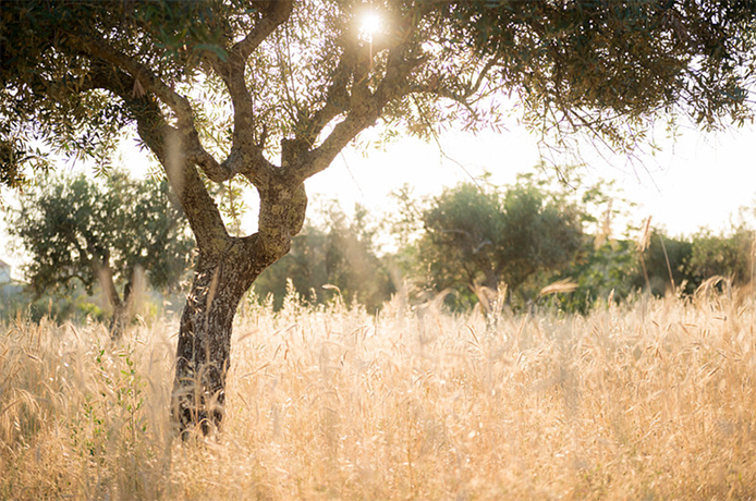 Sunset through an olive tree in a field in Portugal